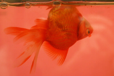 Goldfish Ailments and Diseases