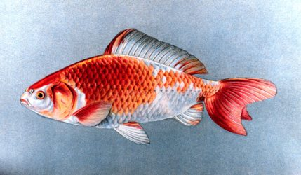 The Wakin Goldfish - Wakin Goldfish Care and Info
