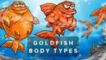 Goldfish Body Types