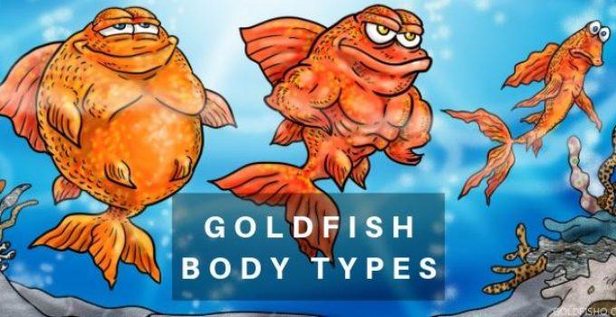goldfish body types