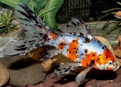 shubunkin-goldfish
