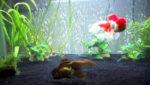 Goldfish Care: Tank Size