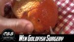 Oranda Goldfish Wen Surgery