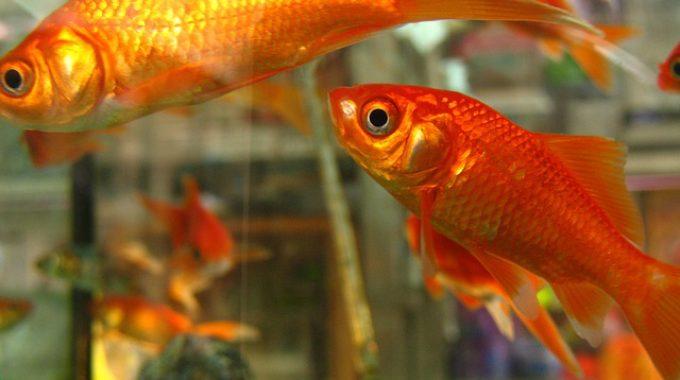 cleaning goldfish tank