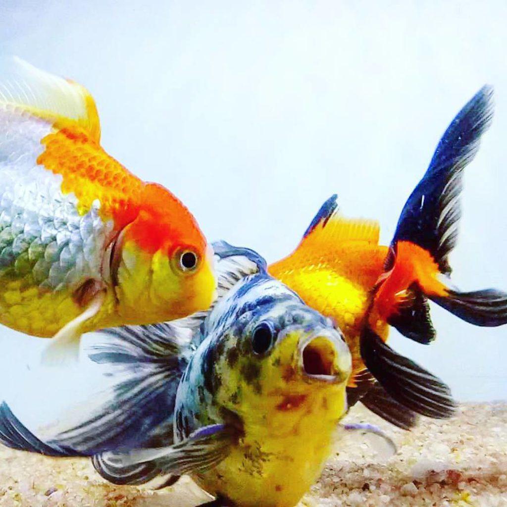 goldfish photos