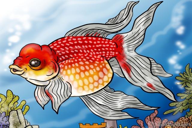 pearlscale fancy goldfish