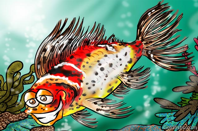 shubunkin fancy goldfish