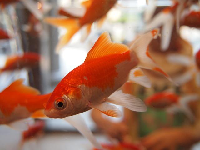 goldfish thermostat