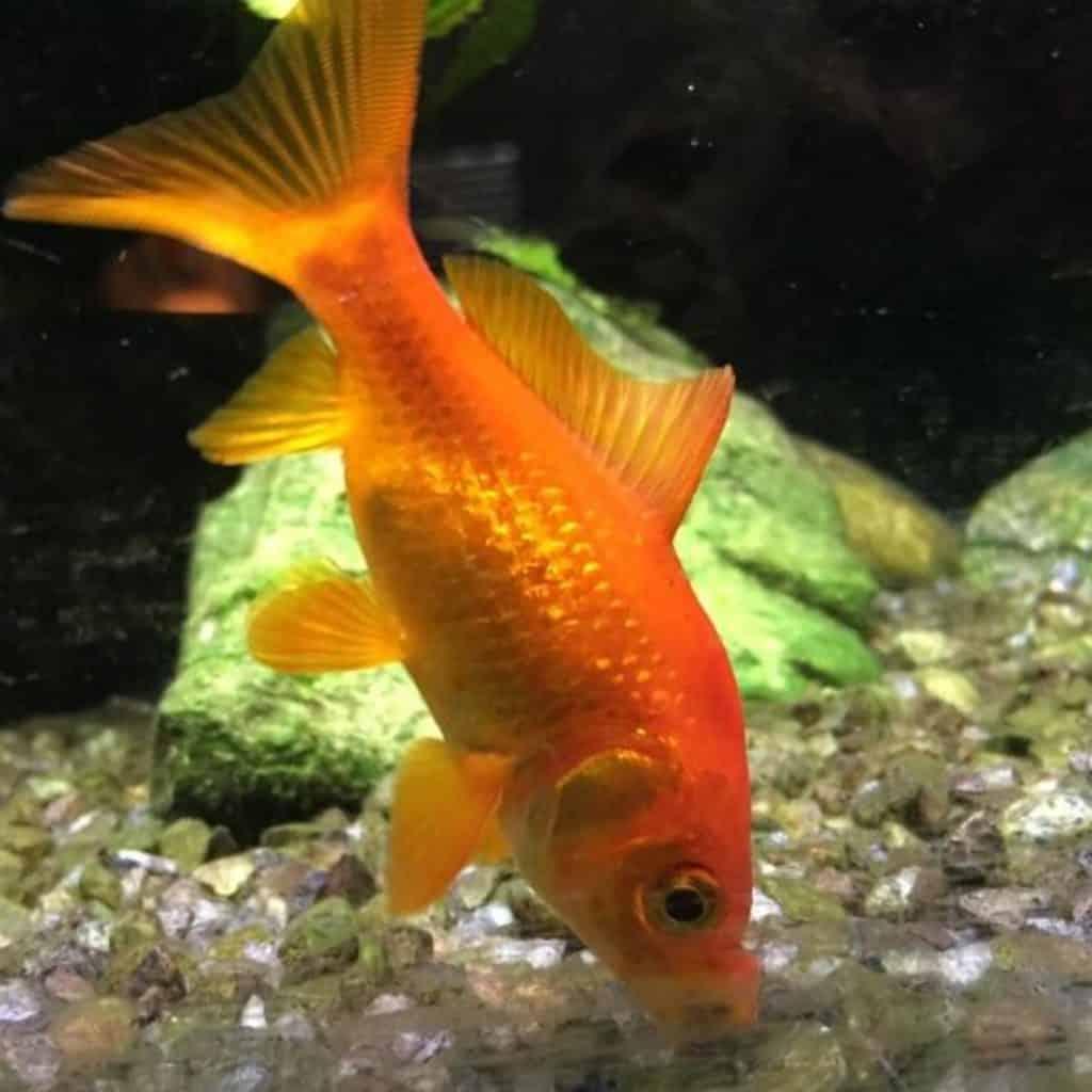 goldfish teeth info