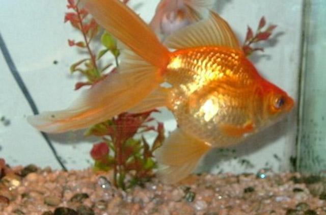 fantail goldfish pics