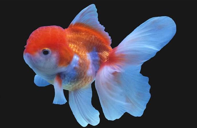 lionhead-goldfish-pic