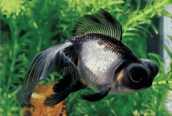 black moor goldfish 11