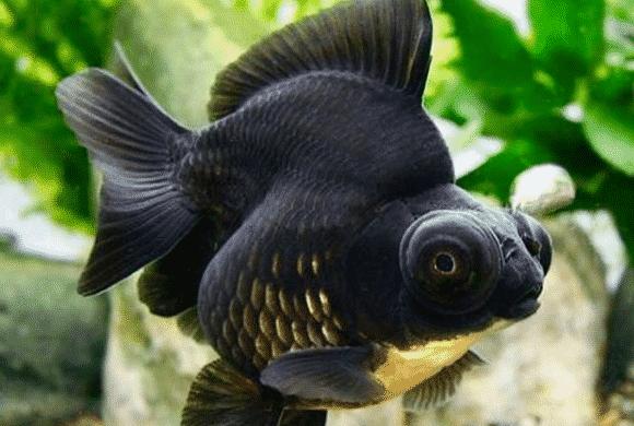 black moor goldfish 12