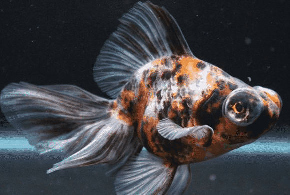 Black Moor Goldfish - Black Moor Care -