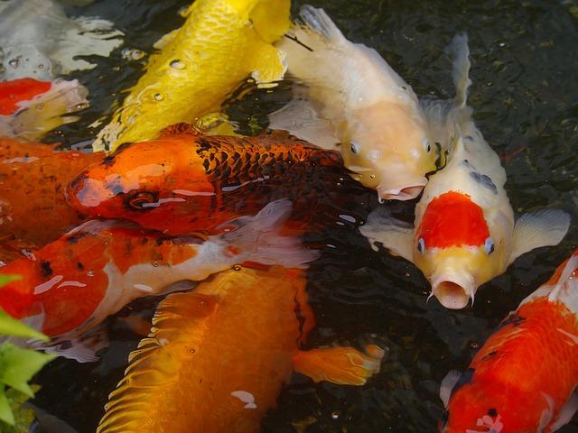 school of koi fish