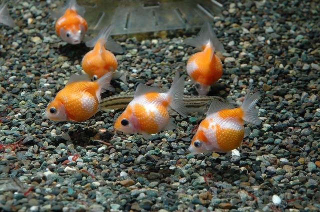 Goldfish Life Span How Long Do Goldfish Live Oldest Goldfish