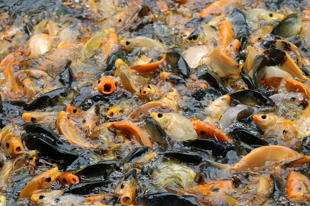 fish overcrowded