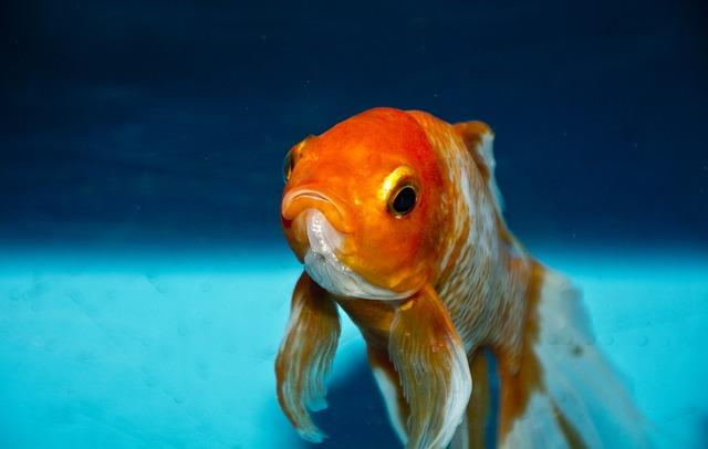 goldfish mouth