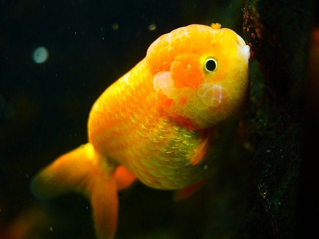 orange ranchu goldfish