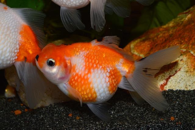 comet goldfish orange and white