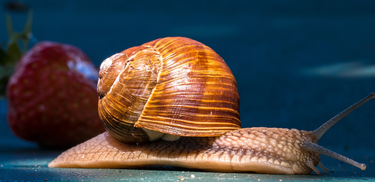 do goldfish eat snails