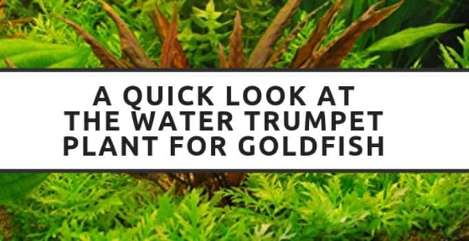 a quick look at the water trumpet plant for goldfish