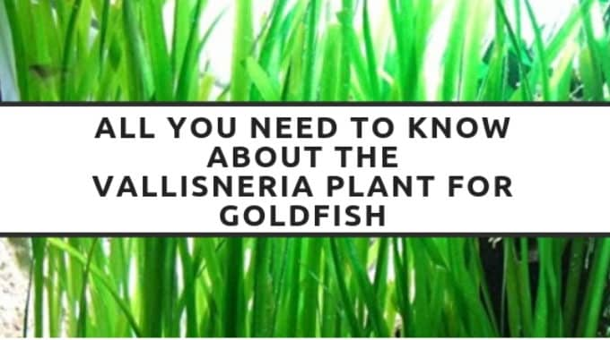 all you need to know about the vallisneria plant for goldfish