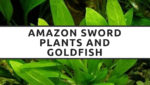 All About The Amazon Sword and Goldfish