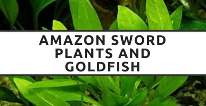 amazon sword plants and goldfish