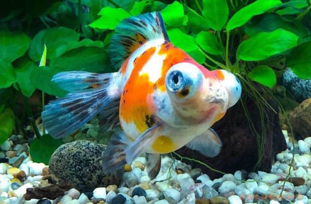 big eye gray goldfish