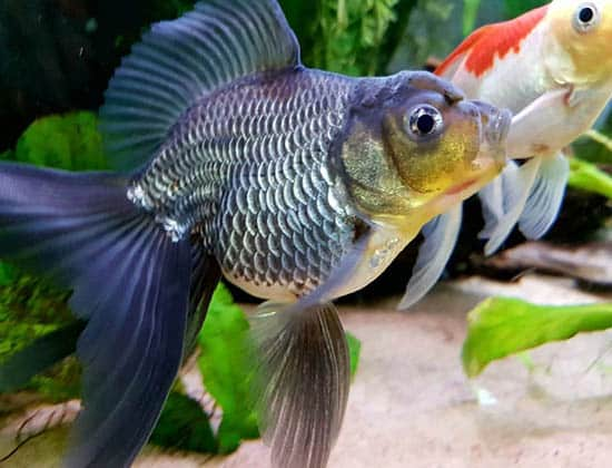 black and blue veiltail goldfish
