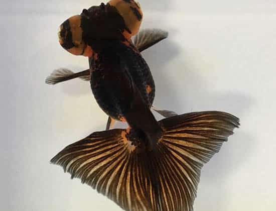 black and brown butterfly goldfish