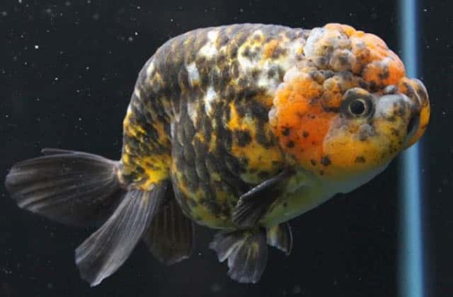 black and yellow lionhead goldfish