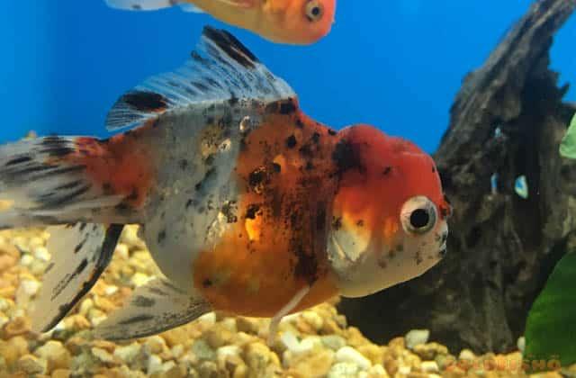 calico oranda goldfish