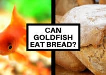can goldfish eat bread