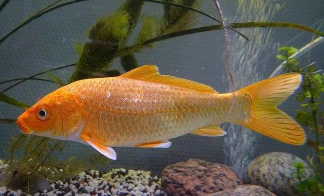 orange carp