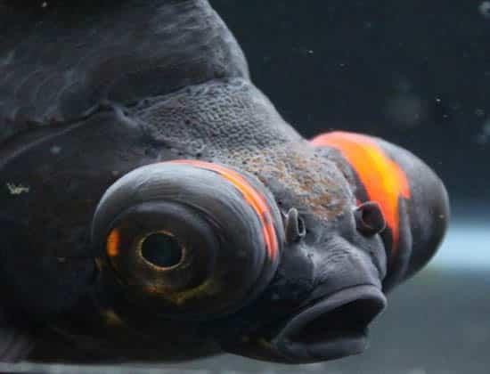 close up black and orange goldfish