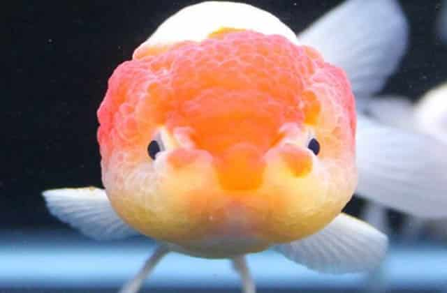 close up orange ace lionhead goldfish