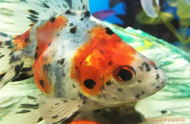 close up spotted calico goldfish