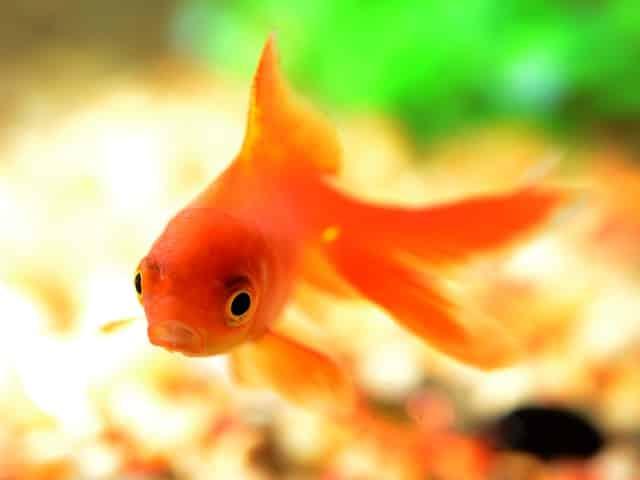 front facing goldfish