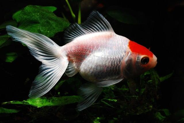 white and goldfish