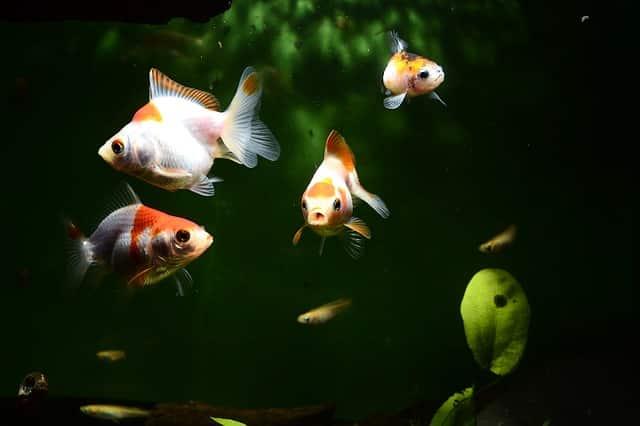 four goldfish