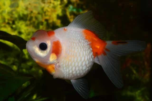 goldfish orange and white