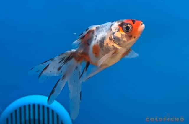 gray and orange calico goldfish