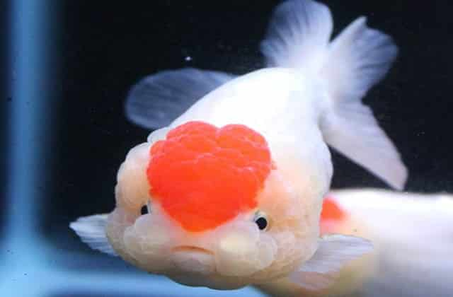 heart shaped lionhead goldfish