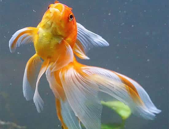 opened mouth orange and white tail veiltail goldfish