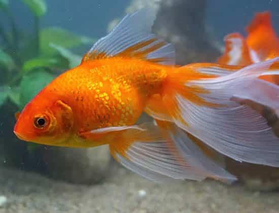 orange and white tail veiltail goldfish