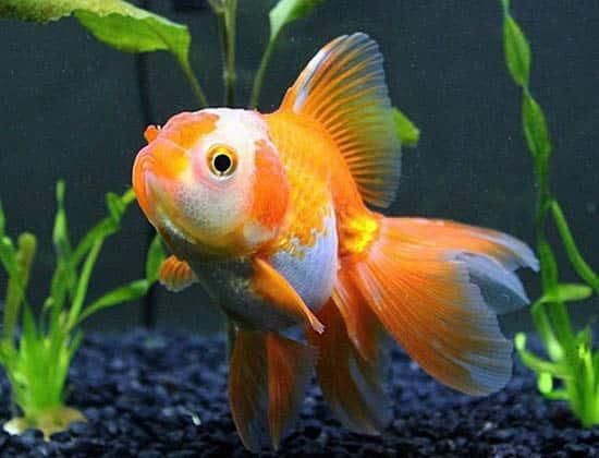 orange and white veiltail goldfish