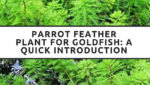 Parrot Feather Plant for Goldfish: A Quick Introduction