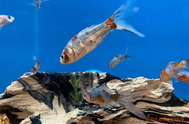 school of calico goldfish
